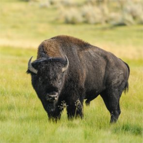 More opportunity to hunt Kaibab bison?