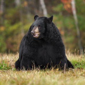 Federal judge rules bear baiting lawsuit can continue