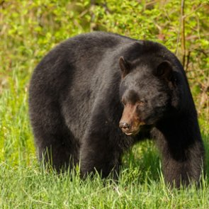 Black bears in Alaska maul two in rare attacks