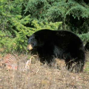 UDWR suggests adding more spot-and-stalk opportunities for black bear
