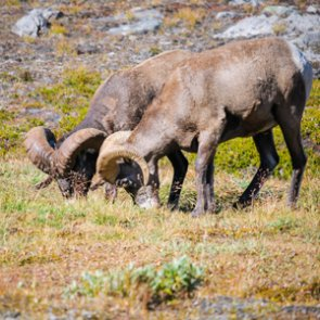 British Columbia under fire for increasing bighorn ram opportunity in one area