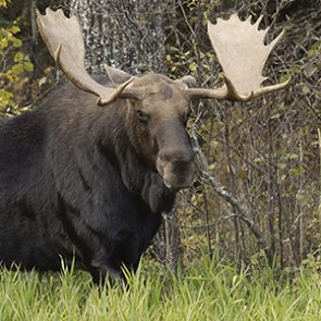 Moose selfie lands man behind bars