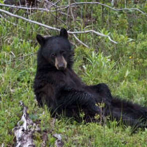 California SB 252 to ban bear hunting withdrawn as over 27,000 sign petition
