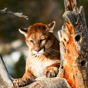 California relocates mountain lions to save bighorn sheep