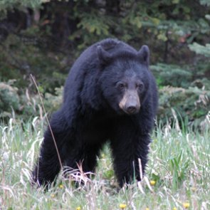 California legislature introduces bill to end bear hunting