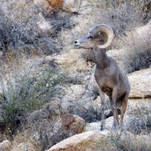 What's killing California's desert bighorn sheep?