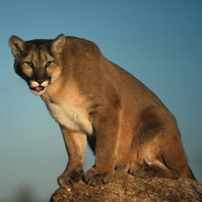 New wildlife crossing will help California mountain lions
