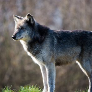 California wolves retain protections
