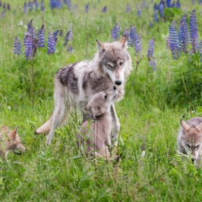 New wolf pack confirmed in California