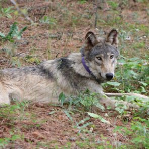 Wolf travels further south into California than any other in recent history