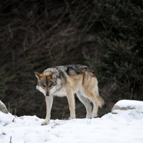 Colorado discusses possibility of wolf reintroduction