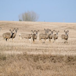 Wyoming culls urban deer for a second time