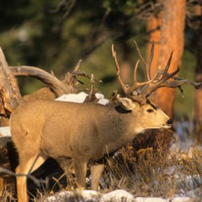 Some Colorado hunters will be required to turn in CWD sample