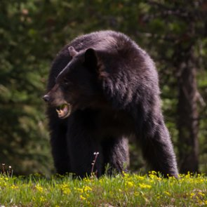 Colorado woman dies after probable bear attack