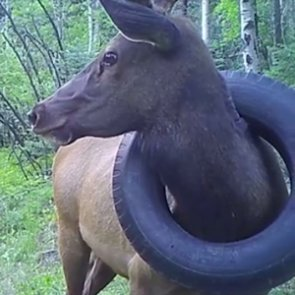 CPW rescue tire-bound elk