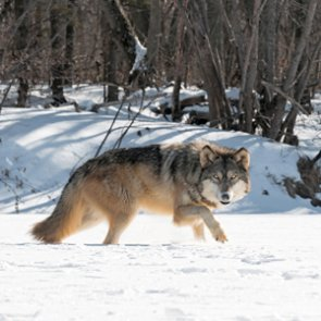 Colorado doesn't want wolves