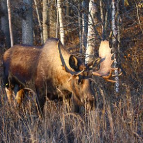 Colorado teenage hunter charged with poaching moose