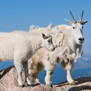 Two mountain goats shot at close range in Colorado