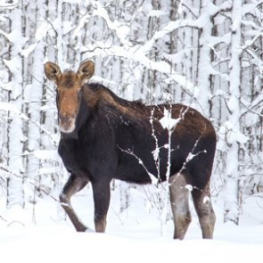 CPW seeks information on poached moose