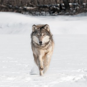 Colorado voters may get to decide on wolf recovery
