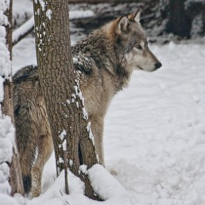 Colorado to the public: wolf reintroduction will be slow
