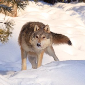 CPW holds second wolf reintroduction education session