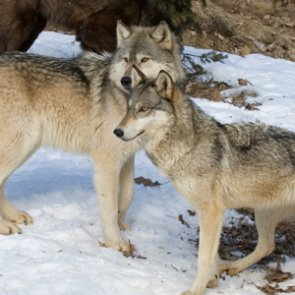 Colorado confirms first gray wolf pups