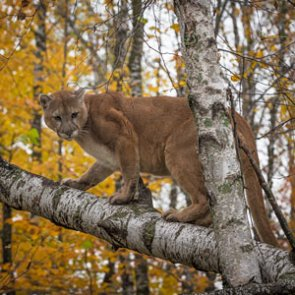 Utah announces recommendation to increase cougar permits for 2017