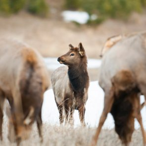 New study finds cow elk learn to avoid hunters