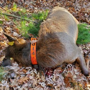 Two Wisconsin hunters shoot elk during rifle deer season