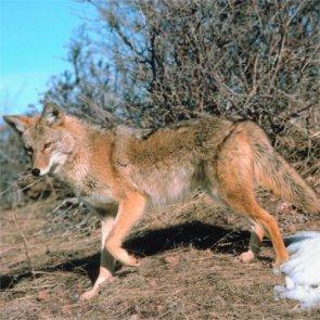 Coyote confusion