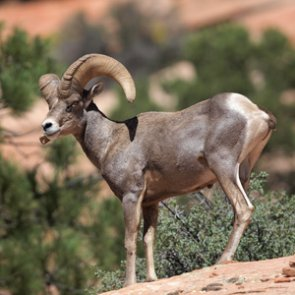Hunter Legacy Fund grant allows AZGFD and SCI to continue desert bighorn study