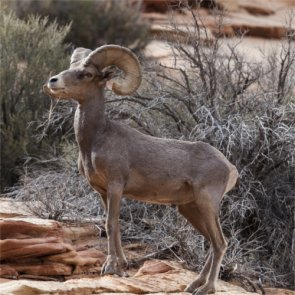 Arizona anticipates bighorn die-off