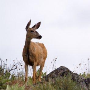 Montana may add more mule deer doe tags this season