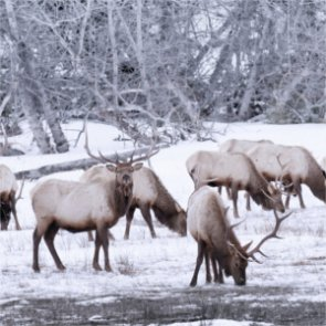 41 elk die when ice breaks in Oregon
