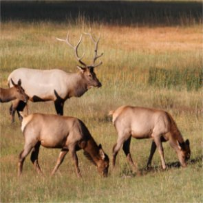Montana lawmakers ask Wyoming to close elk feedgrounds