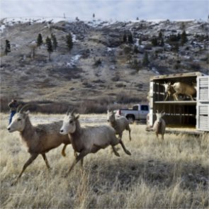 Wyoming and Montana relocate bighorns to boost herds