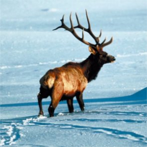 Washington State anticipates wildlife winterkill