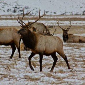 Haystack kills 16 elk in Idaho