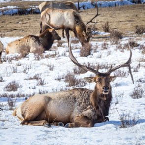 "B&C says stopping ""human-assisted"" deer, elk movements will stop spread of CWD"