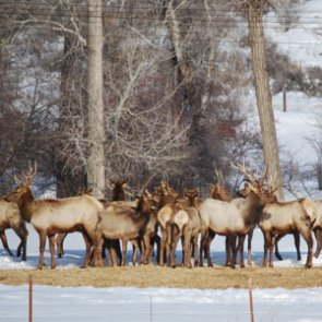 New study links elk to brucellosis in Greater Yellowstone Area