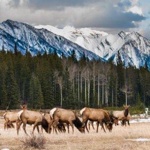 Montana's Bitterroot Valley elk numbers skyrocket
