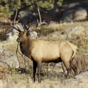 Utah man charged with poaching bull elk