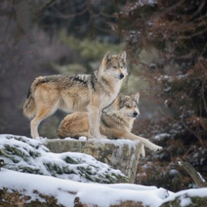 Montana Commission approves changes for elk and wolf hunting