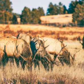 Montana extends 2016 elk season