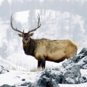 Idaho elk shot out of season; left to die slowly