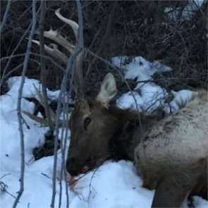 Idaho bull elk poached on private land