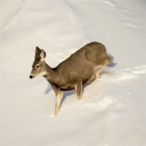 Emergency doe hunt set for Nevada