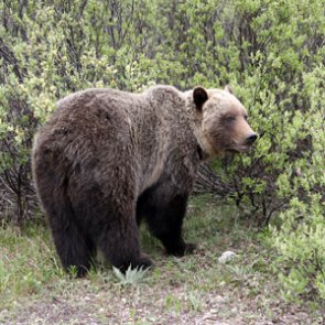 Confirmed: no federal protections for Yellowstone grizzlies
