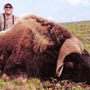 New (P&Y) world record muskox?